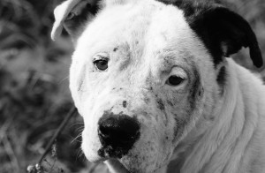 """Many formerly abused and abandonded dogs rescued by the Stray Rescue of St. Louis were featured throughout the SLUMA exhibit. This photograph,""""White Pittie mangy face,"""" was taken by Donna Lochmann."""