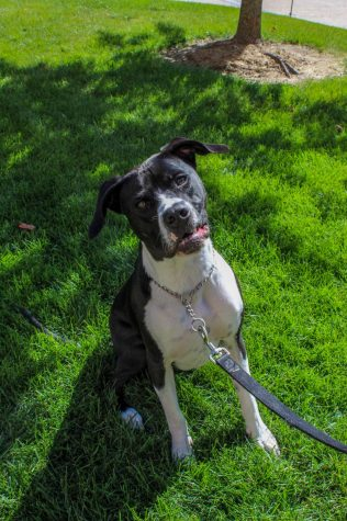 First, meet Barry, a year and a half old, black and white Pitbull terrier. He was rescued as a puppy by his owner, Ryan Gaines. Barry is very energetic, especially in the morning! His favorite hobby is burying his head behind couch pillows and his favorite toy is his femur bone.